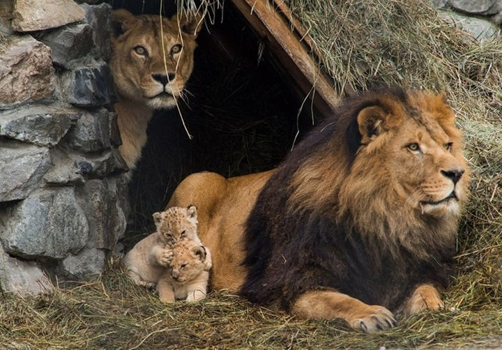 20 Animal Families - A lion and lioness caring for their little cubs.