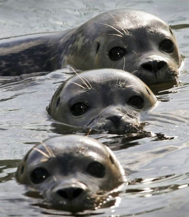 20 Animal Families - Young seals enjoying the water.