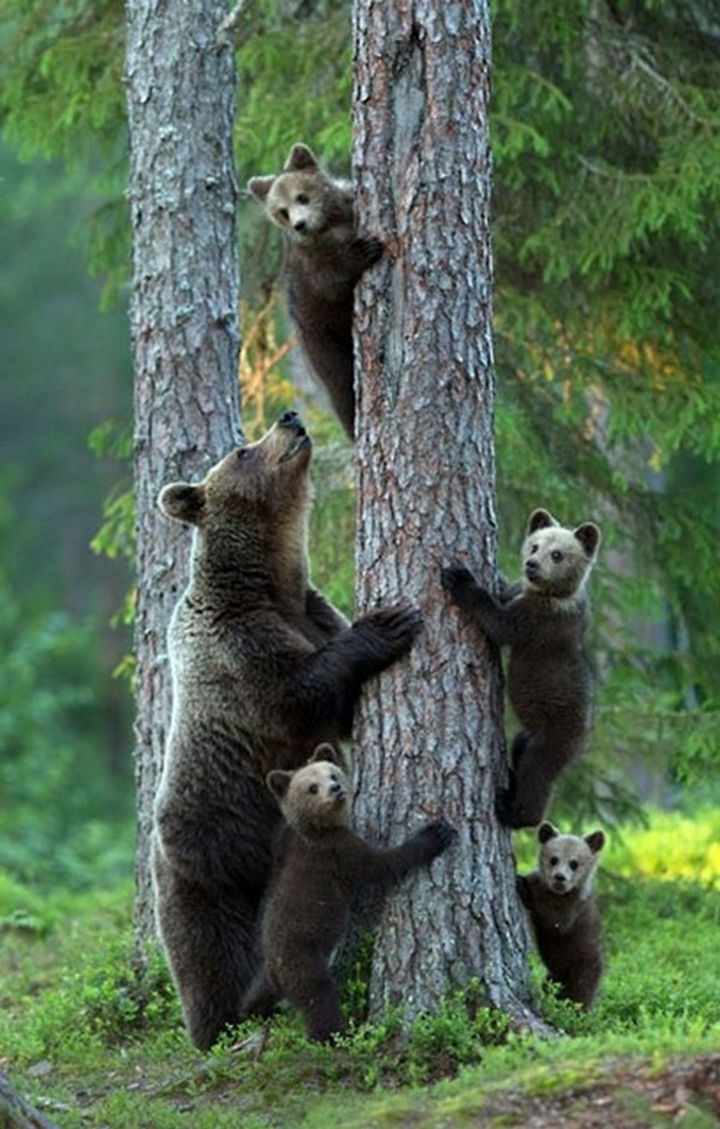 20 Animal Families - A grizzly bear and young cubs learning the ropes.
