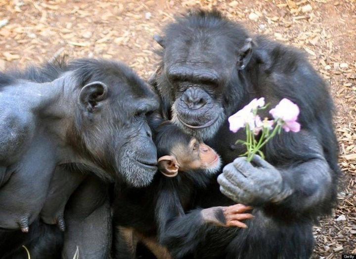 20 Animal Families - Chimpanzees caring for their infant. Mother chimp received flowers.