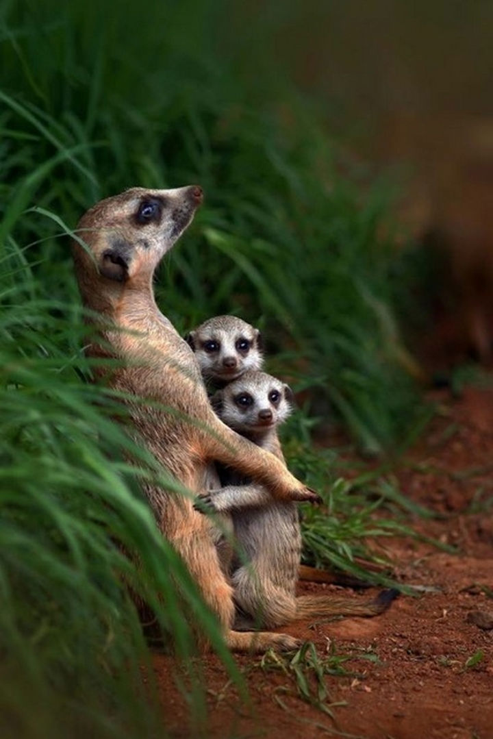 20 Animal Families - A meerkat embracing her pups.