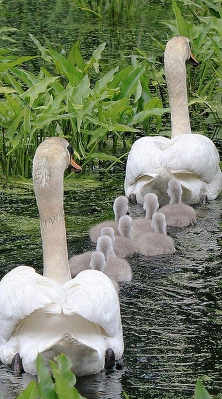 20 Animal Families - Father and mother swans taking their cygnets for a relaxing swim.