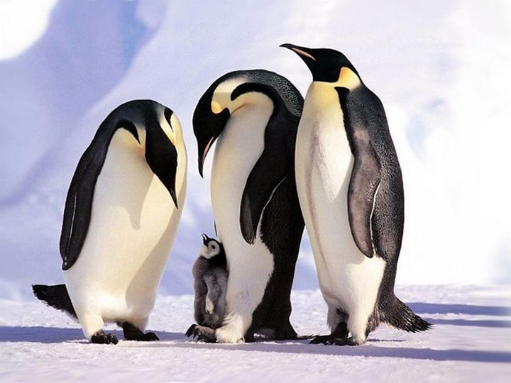 20 Animal Families - A family of penguins watching over their little chick.