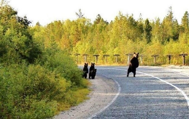 20 Animal Families - A family of black bears being safe.