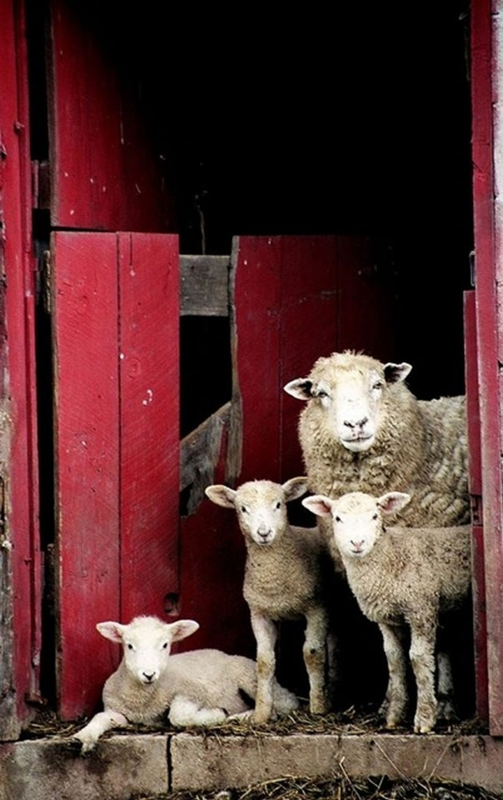 20 Animal Families - A mother sheep spending time with her little lambs.