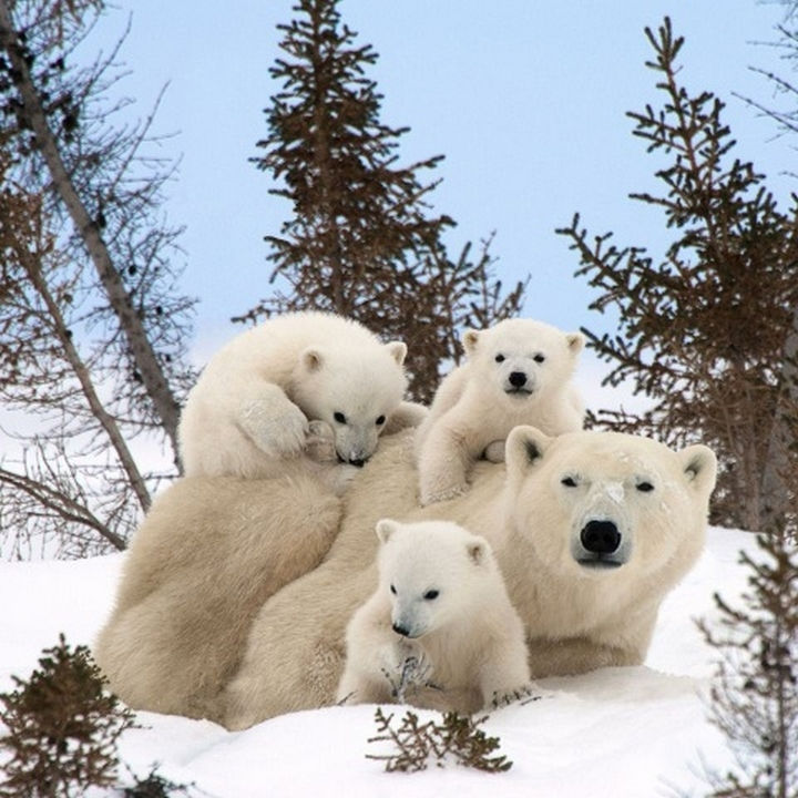 20 Animal Families - A polar bear enjoying the weather with her cubs.