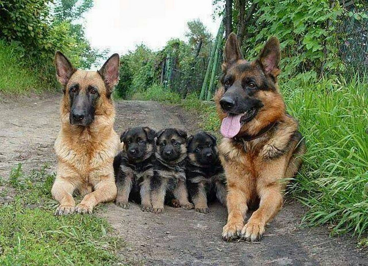 20 Animal Families - Gorgeous German Shepherds with their equally gorgeous puppies.