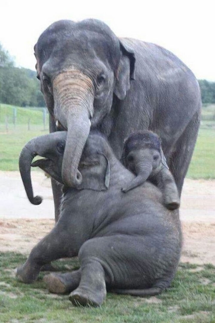 20 Animal Families - A family of elephants caring for their calf.