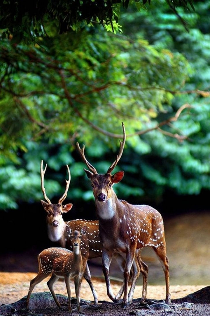20 Animal Families - A beautiful buck and doe walking in the forest with their fawn.