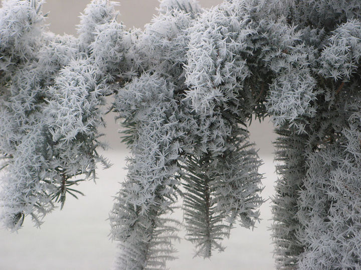 22 Ice and Snow Formations - Frosted pine tree.
