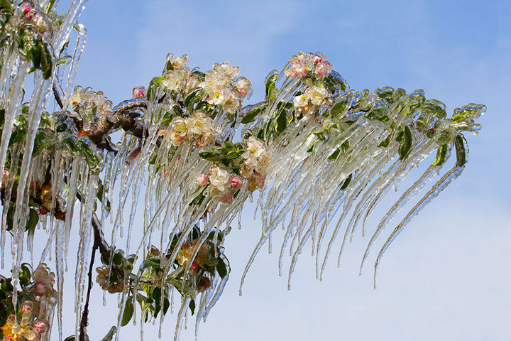 22 Ice and Snow Formations - Icicles forming on a blooming apple tree.