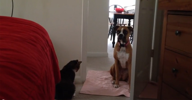 50 Pound Boxer Is Afraid of This 5 Pound Cat.