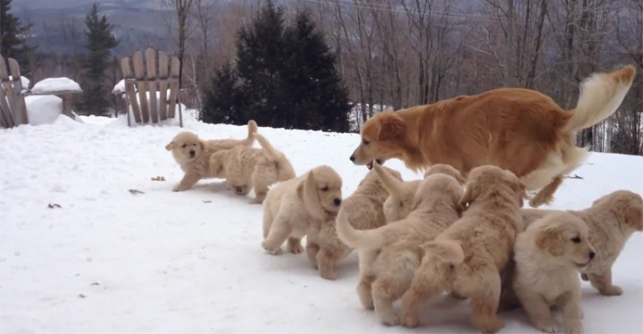 Golden Retriever Puppies Playing in the Snow With Their Mom.