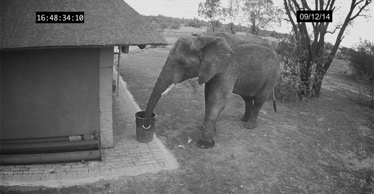 Security Video Captures Elephant Putting Thrash in Its Place