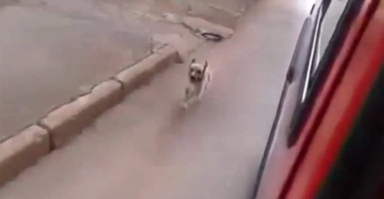 This Dog Is Chasing an Ambulance to Be with His Owner.