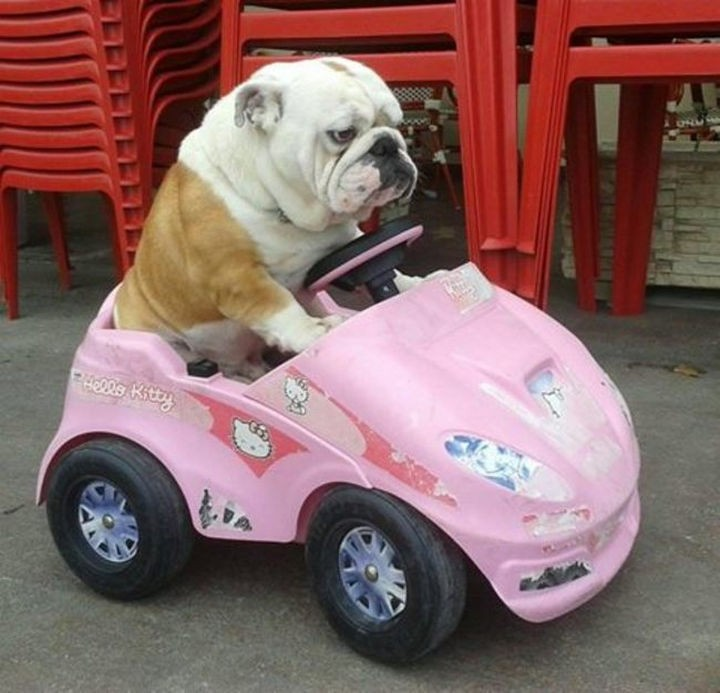 15 Things Only Bulldog Owners Will Understand - They don't do well in airplanes so get ready for road trips!