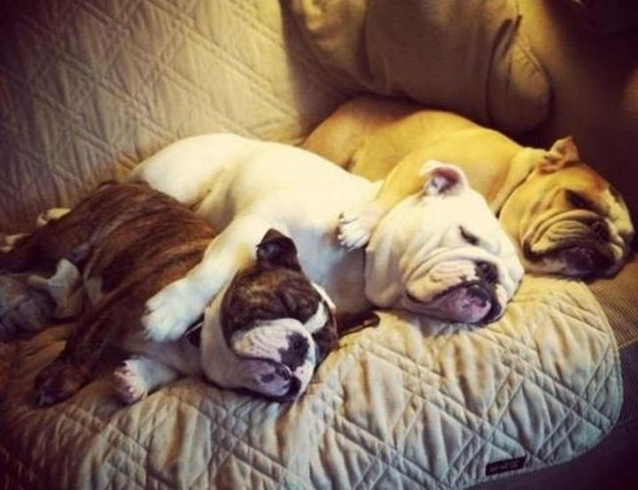 15 Things Only Bulldog Owners Will Understand - They'll snore but watching cuteness sleep makes up for it.