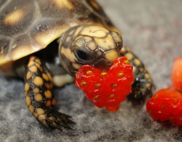 18 cute pictures of lizards and reptiles - And so has this turtle with its heart-shaped piece of strawberry.
