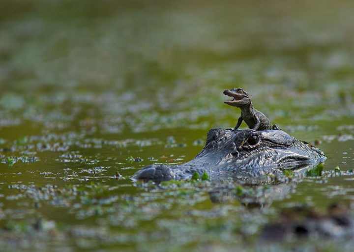 18 cute pictures of lizards and reptiles - Mom gives her baby croc a safe place to rest while moving through the river.