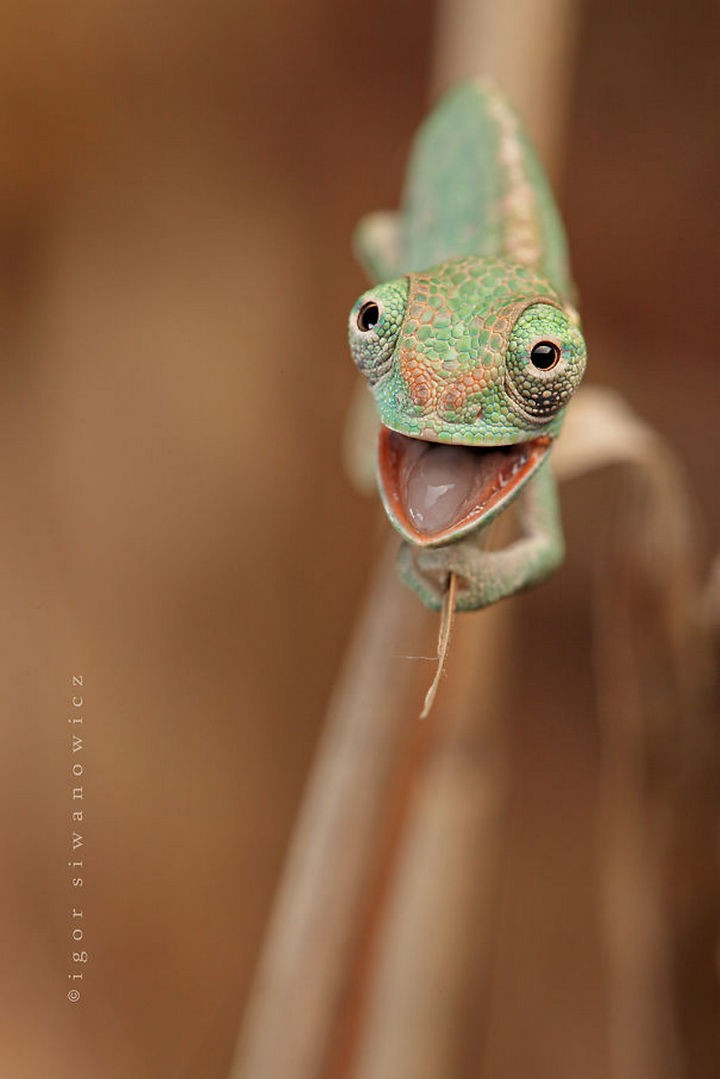 18 cute pictures of lizards and reptiles - This little guy is one happy chameleon.