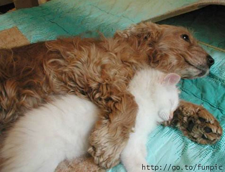 23 Dogs and Cats Sleeping Together - I bet he doesn't want to move and disturb the cat. So thoughtful!