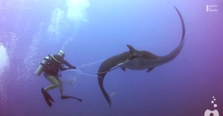 Divers Assist a Giant Manta Ray Tangled in Fishing Net Rope.