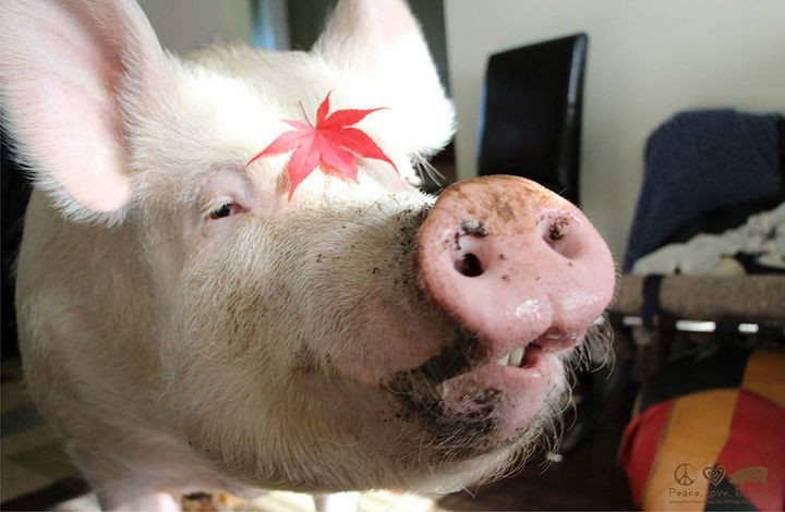 Esther is proudly Canadian and I'm sure she appreciates her owners for treating her so well. She is one lucky pig to have such great owners.