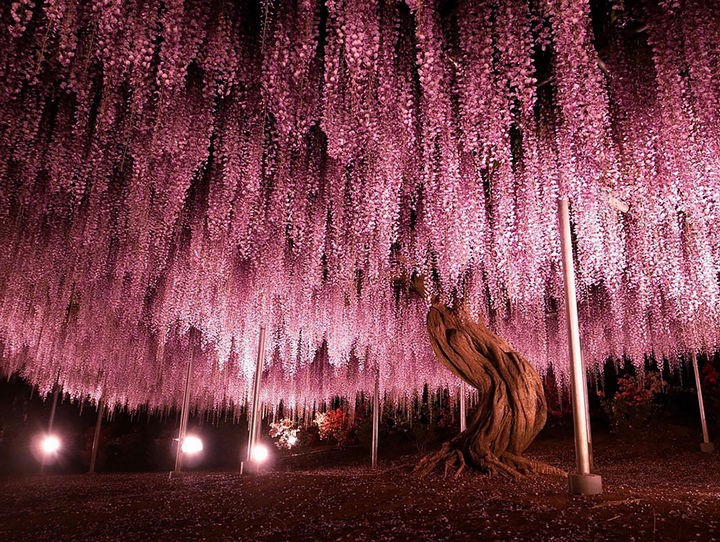 17 Pictures of the Prettiest Trees on Earth - 144-Year-Old Wisteria and Flower Tunnel In Japan.
