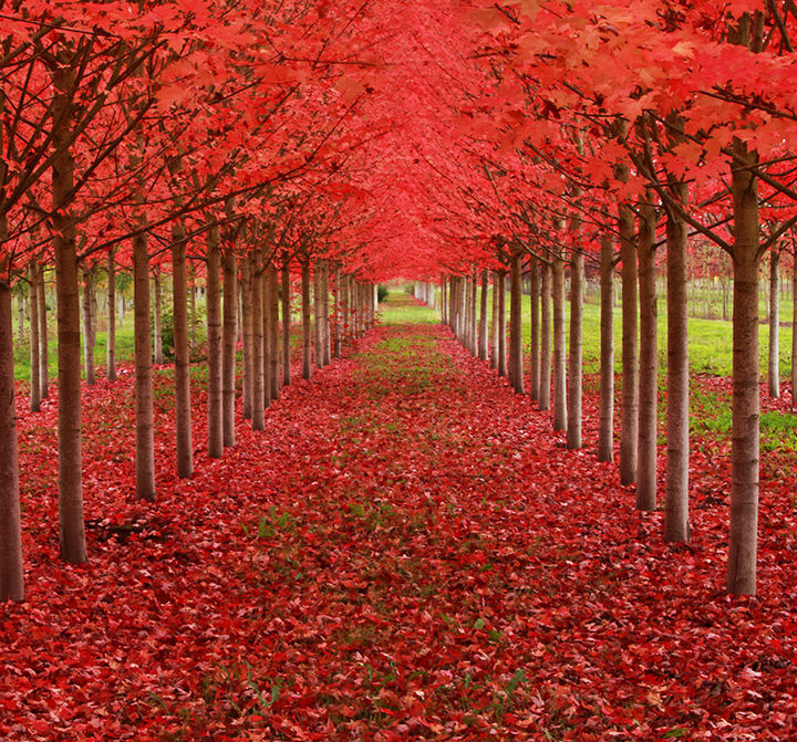 17 Picturesof the Prettiest Trees on Earth - Maple Tree Tunnel Full of Fall Colors in Oregon.