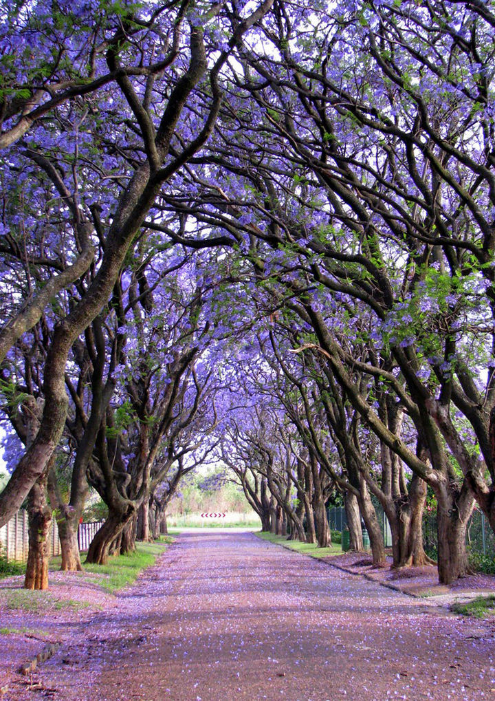 17 Pictures of the Prettiest Trees on Earth - Jacarandas in Cullinan, South Africa.