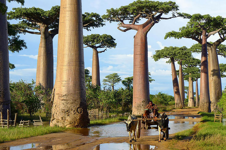 17 Pictures of the Prettiest Trees on Earth - Baobab Trees In Madagascar.