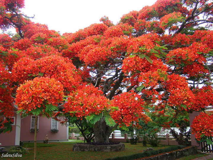 17 Pictures of the Prettiest Trees on Earth - Flamboyant Tree, Brazil.