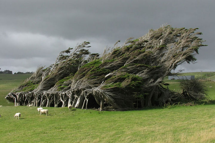 17 Pictures of the Prettiest Trees on Earth - Wind-Swept Trees In New Zealand.
