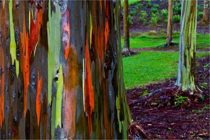 17 Pictures of the Prettiest Trees on Earth - Rainbow Eucalyptus In Kauai, Hawaii.