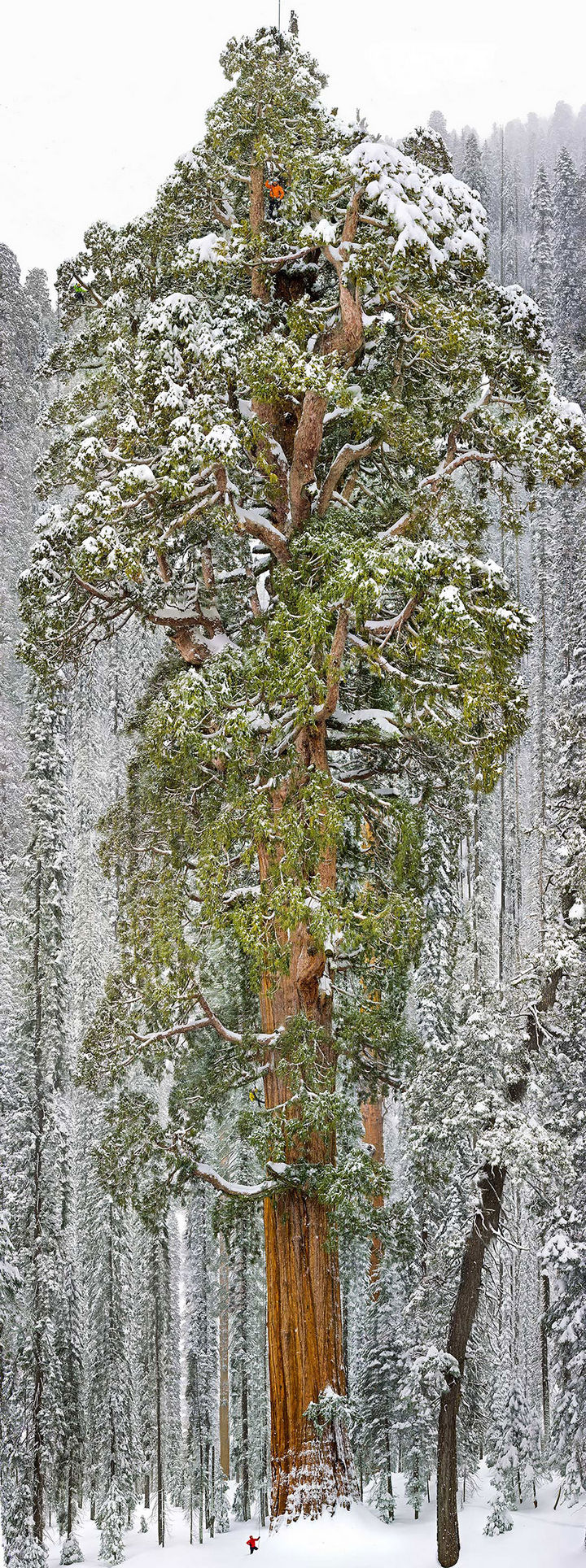 17 Pictures of the Prettiest Trees on Earth - The President, Third-Largest Giant Sequoia Tree In The World, California.
