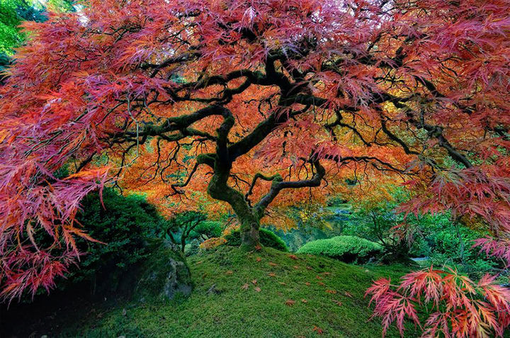 17 Pictures of the Prettiest Trees on Earth - Beautiful Japanese Maple In Portland, Oregon.