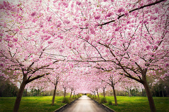 17 Pictures of the Prettiest Trees on Earth - Sakuras.