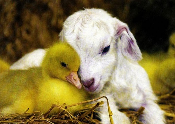 20 Beautiful Images Showing an Animal's Unconditional Love - Baby goat sharing a moment with a little duckling.