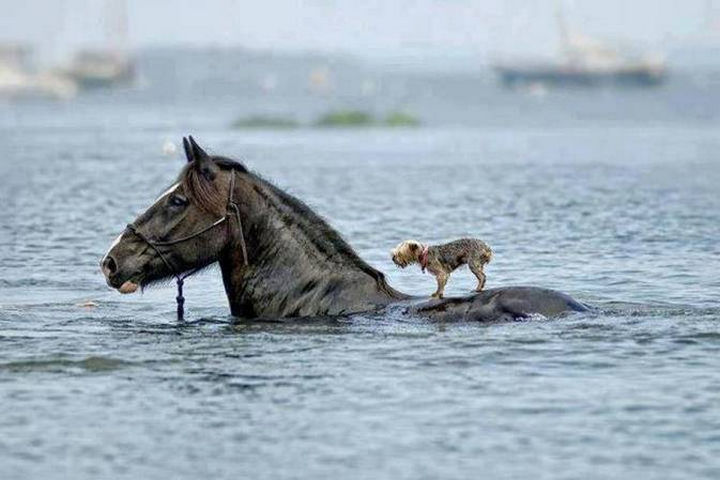 20 Beautiful Images Showing an Animal's Unconditional Love - Horse carrying a Yorkie to safety.