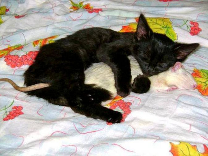 20 Beautiful Images Showing an Animal's Unconditional Love - Black kitten cuddling a rat.