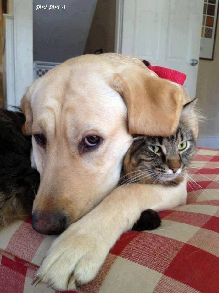 20 Beautiful Images Showing an Animal's Unconditional Love - Gold lab hugging a cat.