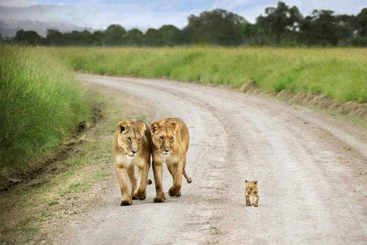 20 Beautiful Images Showing an Animal's Unconditional Love - Baby lion cub walking with lionesses.