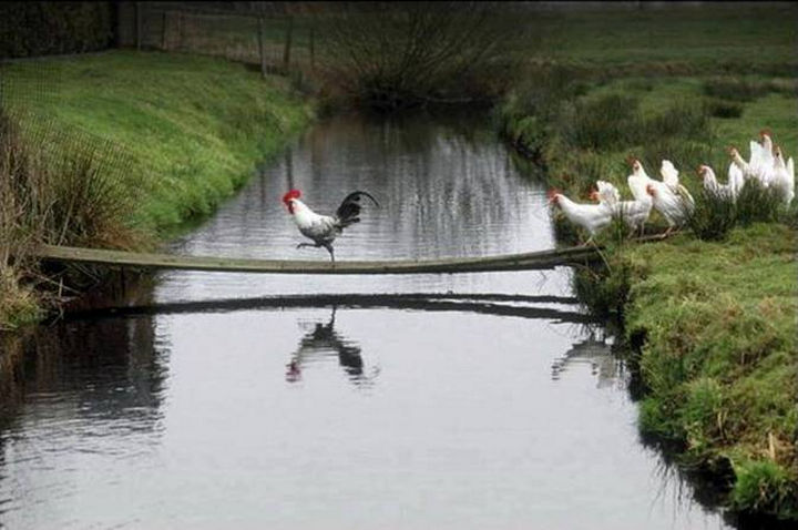 20 Beautiful Images Showing an Animal's Unconditional Love - A rooster leading the way.