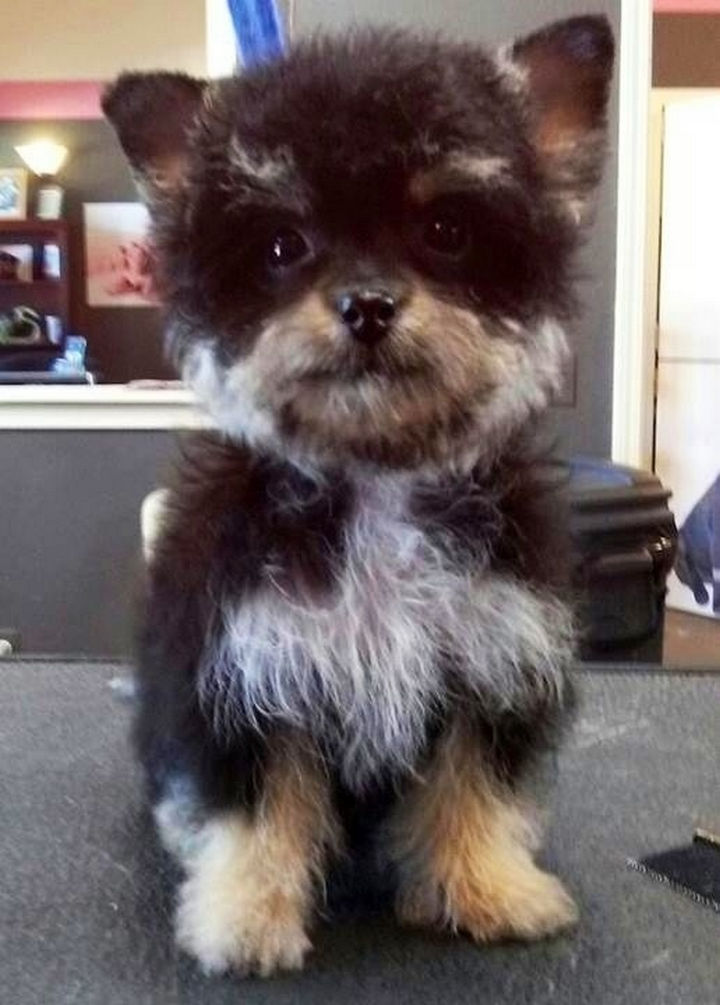 21 Mixed Breed Dogs: Yorkshire Terrier + Poodle = Yorkie Poo