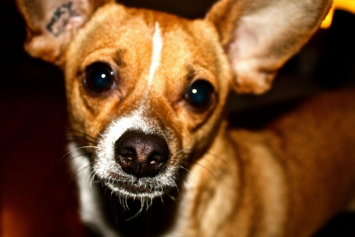 21 Mixed Breed Dogs: Chihuahua + Toy Fox Terrier = Taco Terrier