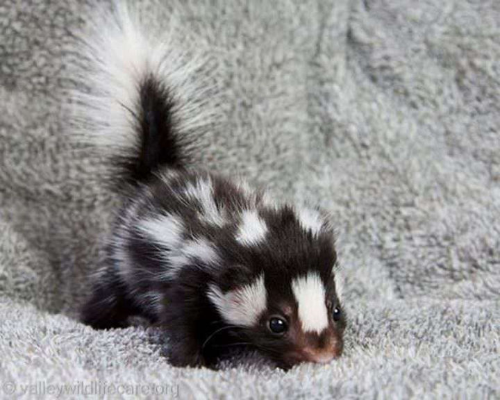 29 Tiny Baby Animals - An adorable baby spotted skunk.