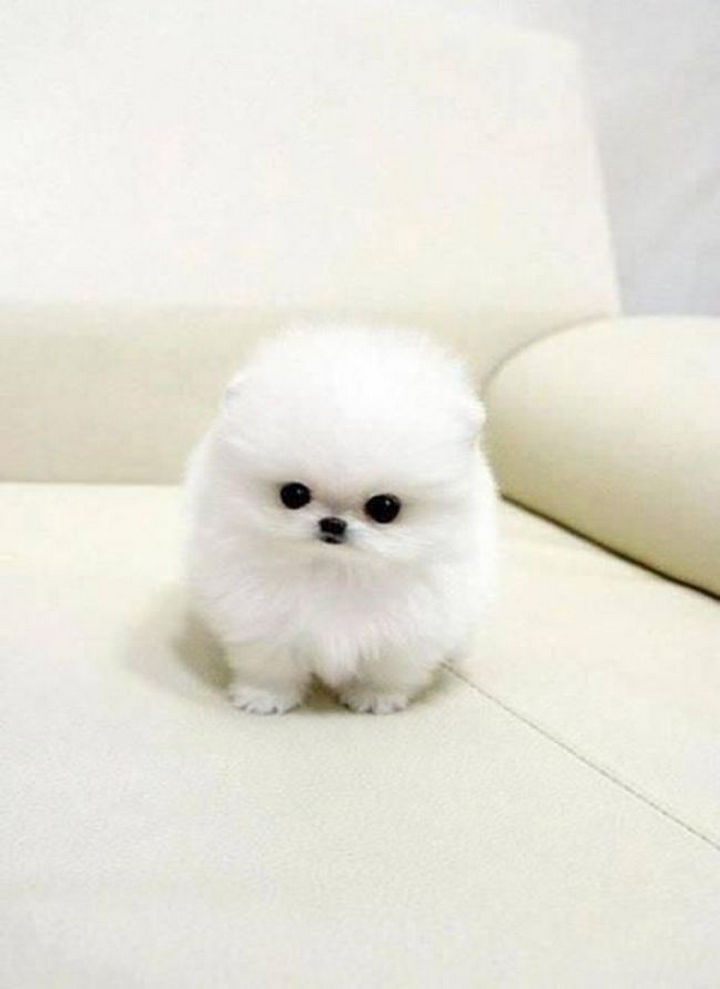 29 Tiny Baby Animals - Fluffy baby white Pomeranian.
