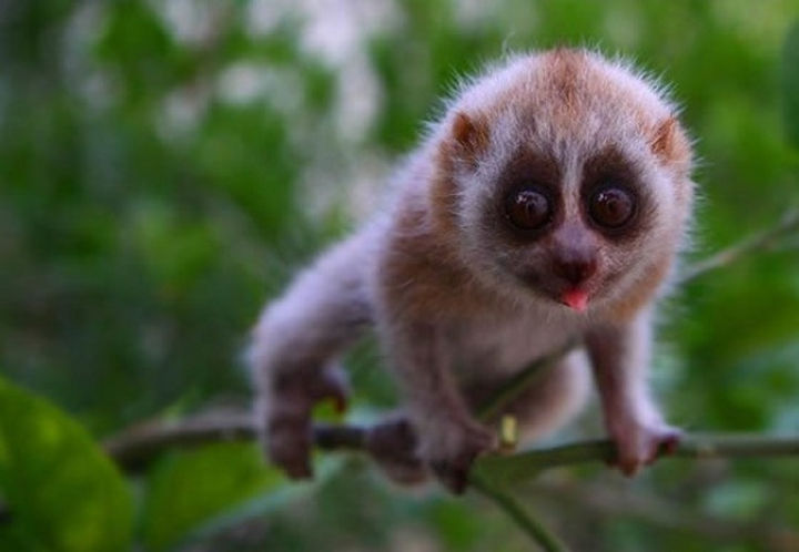 29 Tiny Baby Animals - Curious little slow loris.