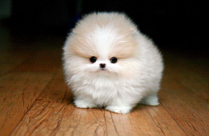 29 Tiny Baby Animals - Another adorable baby Pomeranian.