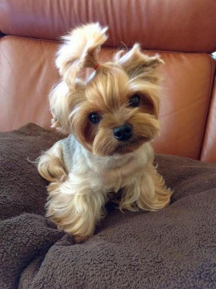 29 Tiny Baby Animals - Sweet baby Yorkie.